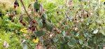 لباشیر | خواص درمانی گیاه لباشیر برای سلامتی | عوارض آن