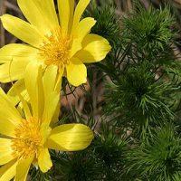 گیاه آدونیس بهاره| معرفی خواص درمانی گیاه آدونیس بهاره برای سلامتی بدن