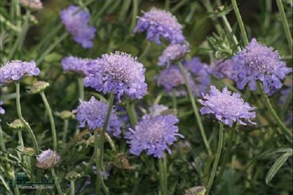 گل کبوتر | خواص درمانی گل کبوتر برای سلامتی و رفع ناراحتی های تنفسی | مضرات آن
