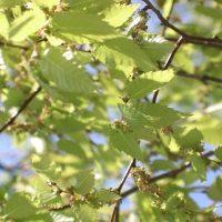 گیاه آزاد یا آقچه | خواص درمانی گیاه آزاد چیست ؟