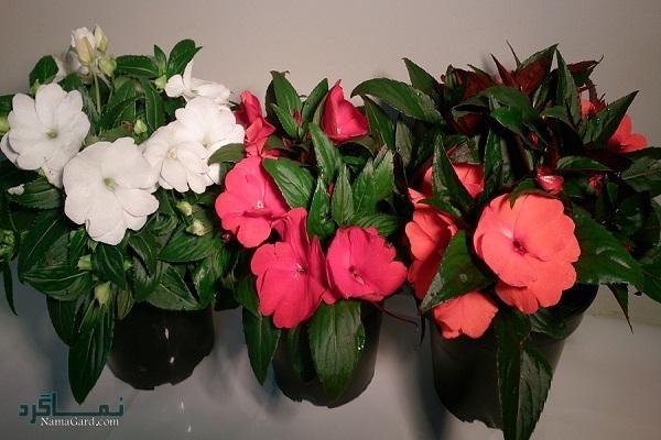 آشنایی با خواص درمانی گل حنا | طریقه مصرف گل حنا