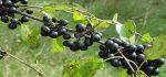 گیاه آش انگور | آشنایی با خواص درمانی گیاه و میوه آش انگور برای سلامتی
