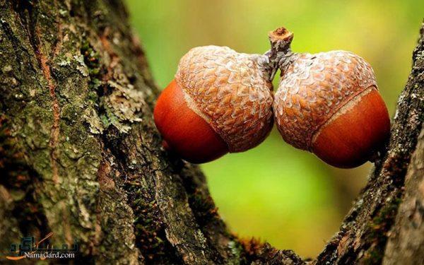 گیاه مازو | خواص درمانی مازو برای تنگ نمودن واژن | طریقه مصرف | عوارض آن