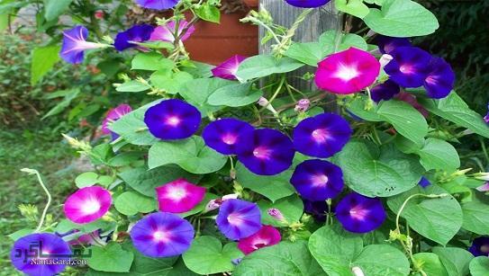 گل نیلوفر | خواص درمانی گل نیلوفر برای سلامتی و پوست و مو | مضرات آن