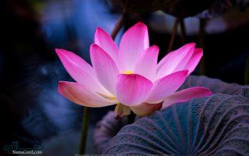 تعبیر خواب گل نیلوفر - معنی دیدن گل نیلوفر در خواب چیست؟