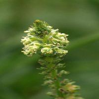 گیاه اسپرک یا ورث | خواص درمانی ورث برای تقویت نیروی جنسی