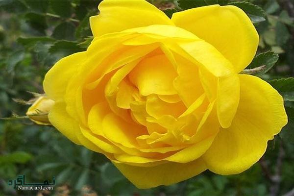 گل زرد | خواص درمانی گل زرد برای دل درد و دل پیچه | عوارض مصرف آن