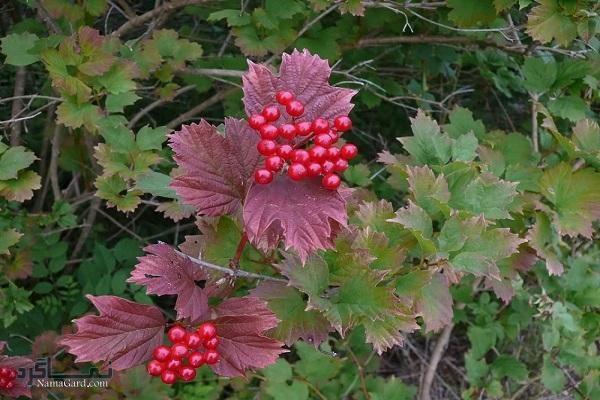 گیاه بداغ جنگلی | خواص درمانی گیاه بداغ جنگلی برای سلامتی