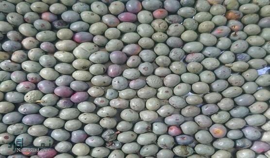مهم ترین خواص درمانی گیاه بنه ( پسته کوهی) برای سلامتی جسم | مضرات مصرف آن