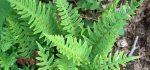 خواص درمانی گیاه بسپایک(بسفایج)برای معده و سلامتی