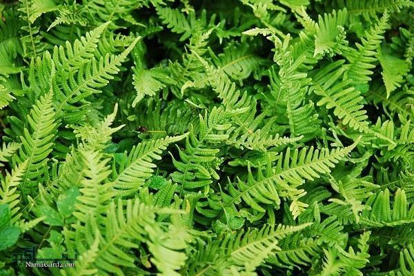گیاه بسپایک (بسفایج) | خواص درمانی گیاه بسپایک (بسفایج) برای معده و سلامتی