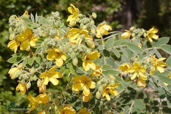 گیاه برهان چیست ؟ | خواص درمانی گیاه برهان برای سلامتی