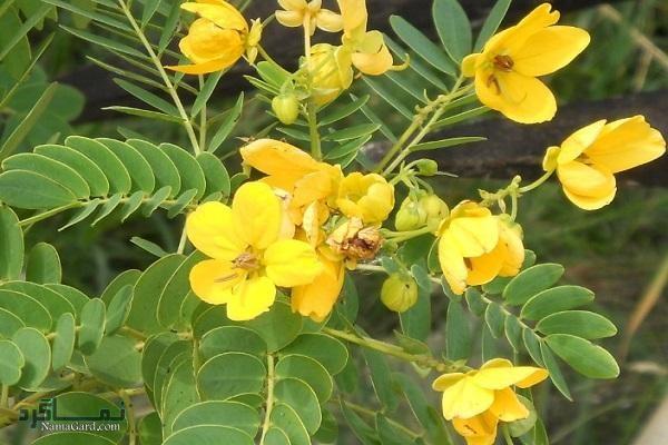 گیاه برهان چیست ؟   خواص درمانی گیاه برهان برای سلامتی