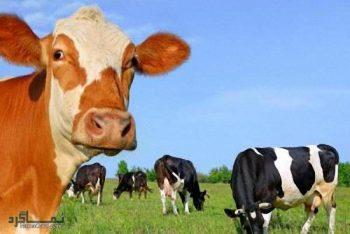 تعبیر خواب گاو - دیدن گاو در خواب چه مفهومی دارد؟