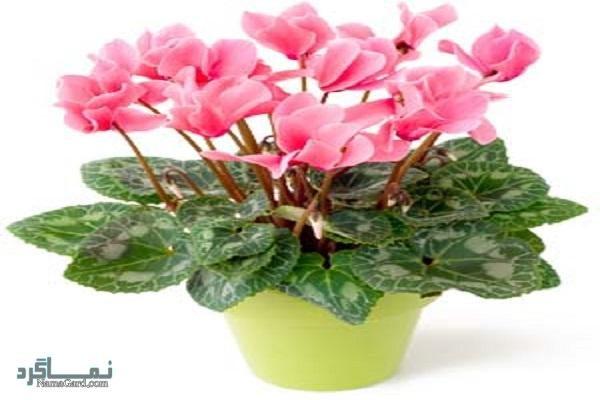 آشنایی با گیاه پنجه مریم | خواص درمانی گیاه پنجه مریم