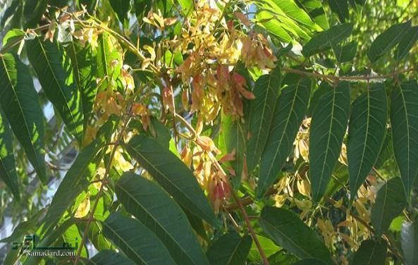 گیاه بیعار | خواص درمانی گیاه بیعار برای زخم های سرطانی