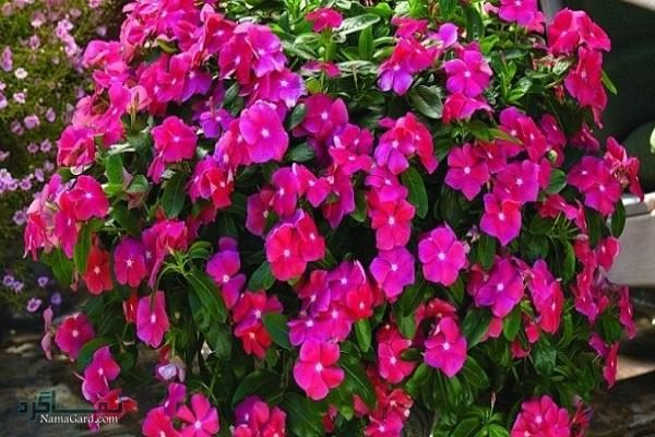 آشنایی با خواص درمانی گیاه پروانش برای سرطان | طریقه مصرف | مضرات آن
