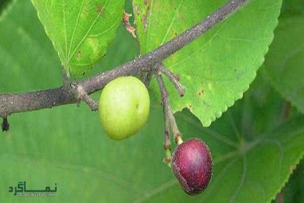 آشنایی با خواص درمانی گیاه پرتورو (کانگو) برای روماتیسم