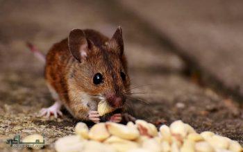 تعبیر خواب موش - دیدن موش در خواب چه تعبیری دارد؟