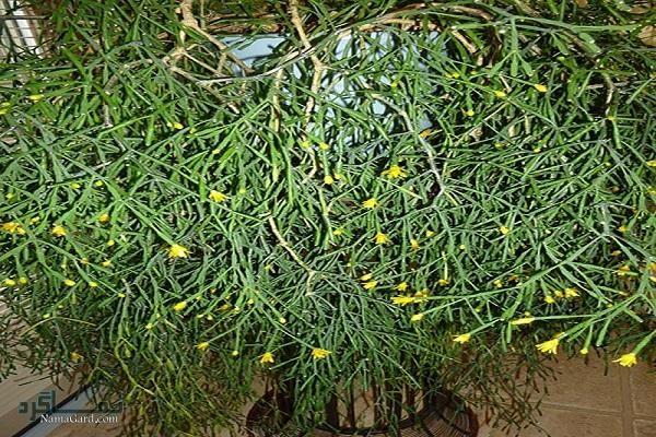 معرفی خواص درمانی گیاه بیدار برای سرفه و آسم
