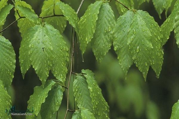 معرفی خواص درمانی گیاه راش برای درمان سر درد