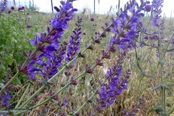 آشنایی با خواص درمانی گیاه قطرم برای سلامتی   عوارض