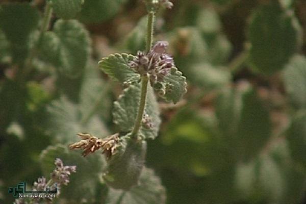 آشنایی با خواص درمانی گیاه قطرم برای سلامتی | عوارض
