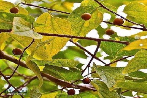 خواص و فواید درمانی گیاه داغداغان برای تقویت حافظه