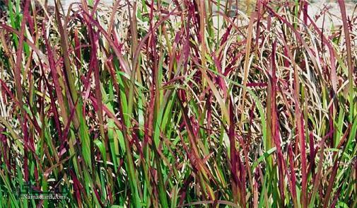 خواص درمانی گیاه حلفه یا زلف شیطان چیست ؟