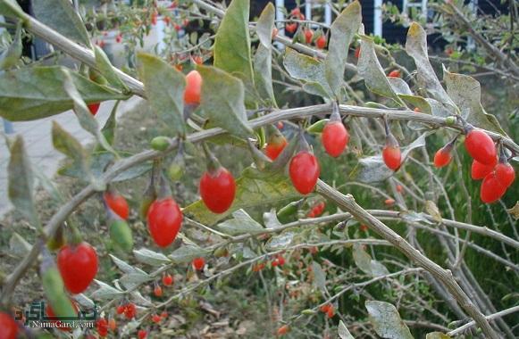 خواص و فواید درمانی گیاه دیوخار برای سلامتی