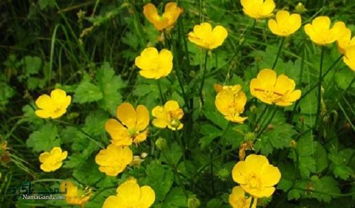 آشنایی با خواص درمانی گیاه آلاله برای سلامتی | مضرات