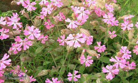 آشنایی با خواص و فواید درمانی گیاه سیلن