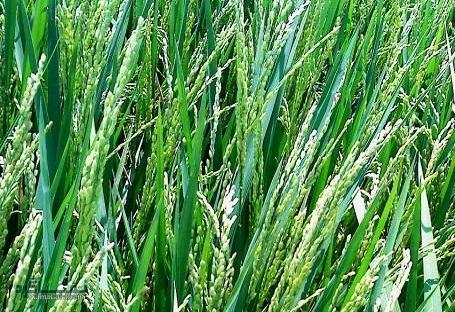 گیاه سوروف  آشنایی با خواص درمانی گیاه سوروف (دژگال)