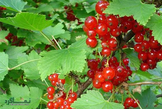 قره قاط چیست ؟ | خواص درمانی گیاه قره قاط برای سلامتی