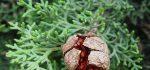 خواص درمانی گیاه زربین برای سلامتی انسان