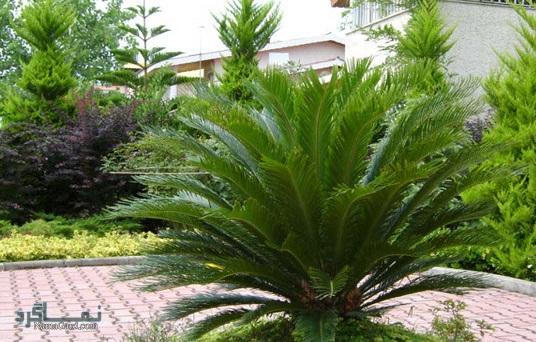 آشنایی با خواص و فواید درمانی گیاه سیکاس