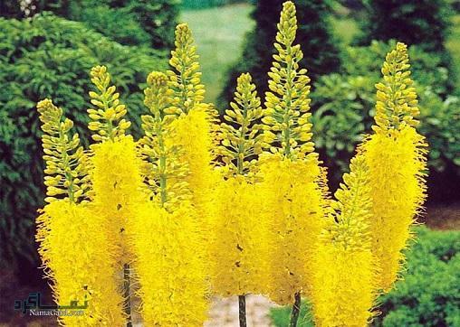 خواص و فواید درمانی گیاه سریش برای سلامتی | مضرات آن