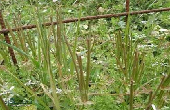 معرفی خواص درمانی گیاه سوزن چوپان قرمز برای سلامتی