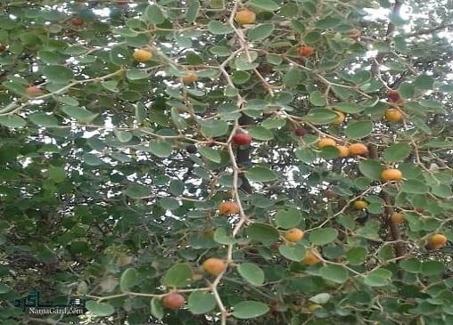 آشنایی با خواص درمانی گیاه سدر و میوه ی آن (رملیک)