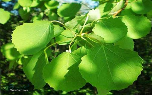 گیاه شالک چیست؟ | خواص و فواید درمانی گیاه شالک