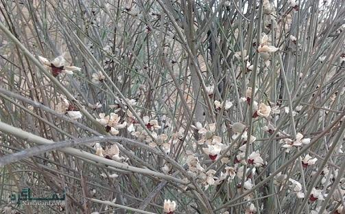 معرفی خواص درمانی گیاه ارژن ( بادام کوهی ) برای بدن