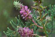 آشنایی با خواص درمانی گیاه شیشعان برای سلامتی