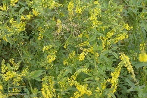 خواص درمانی گیاه شاه افسر زرد(یونجه زرد)  عوارض مصرف