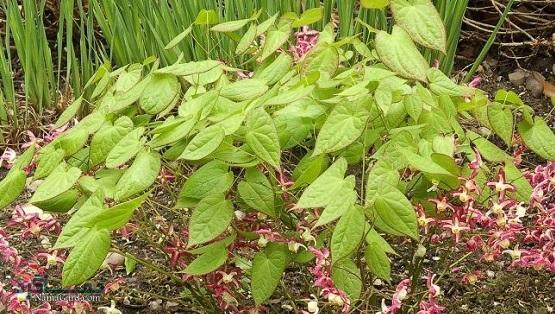 آشنایی با خواص درمانی گیاه علف بز شاخدار(اپیدیوم)