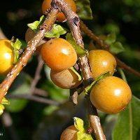 آشنایی با خواص درمانی گیاه خرمندی (کلهو) برای سلامتی