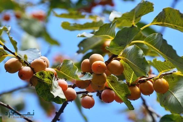 آشنایی با خواص درمانی گیاه خرمندی(کلهو) برای سلامتی