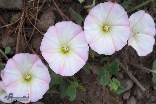 فواید و خواص درمانی گیاه پیچک صحرایی برای صفرا