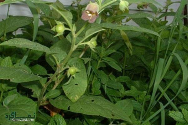 معرفی خواص درمانی گیاه مهر گیاه برای تسکین روماتیسم