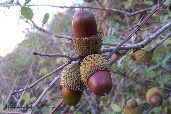 معرفی خواص درمانی میوه بلوط برای سلامتی  مضرات