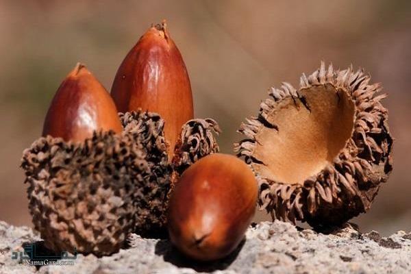 معرفی خواص درمانی میوه بلوط برای سلامتی| مضرات